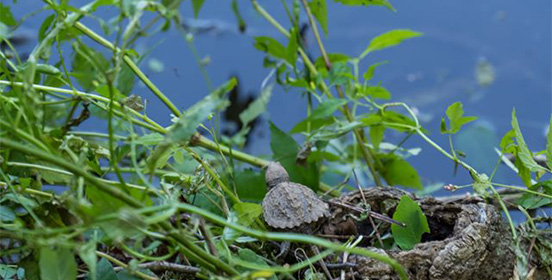 a newly hatched snapping turtle makes its way into the water